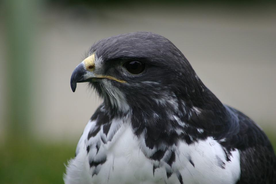 Bird, Wildlife, Raptor, Animal, Nature, Feather, Beak