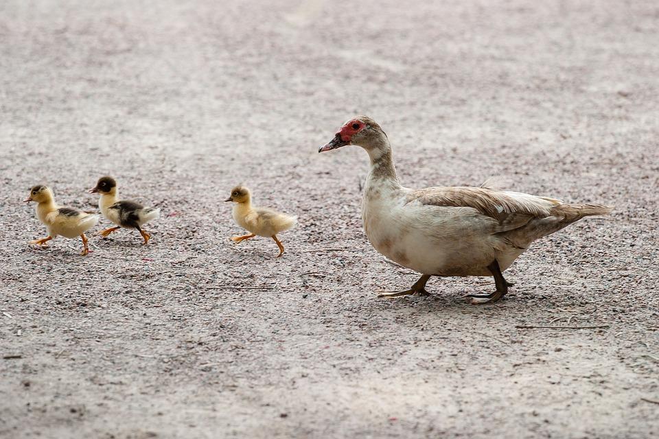 Ducks, Duck, Duckling, Bird, Fly, Wings, Feather