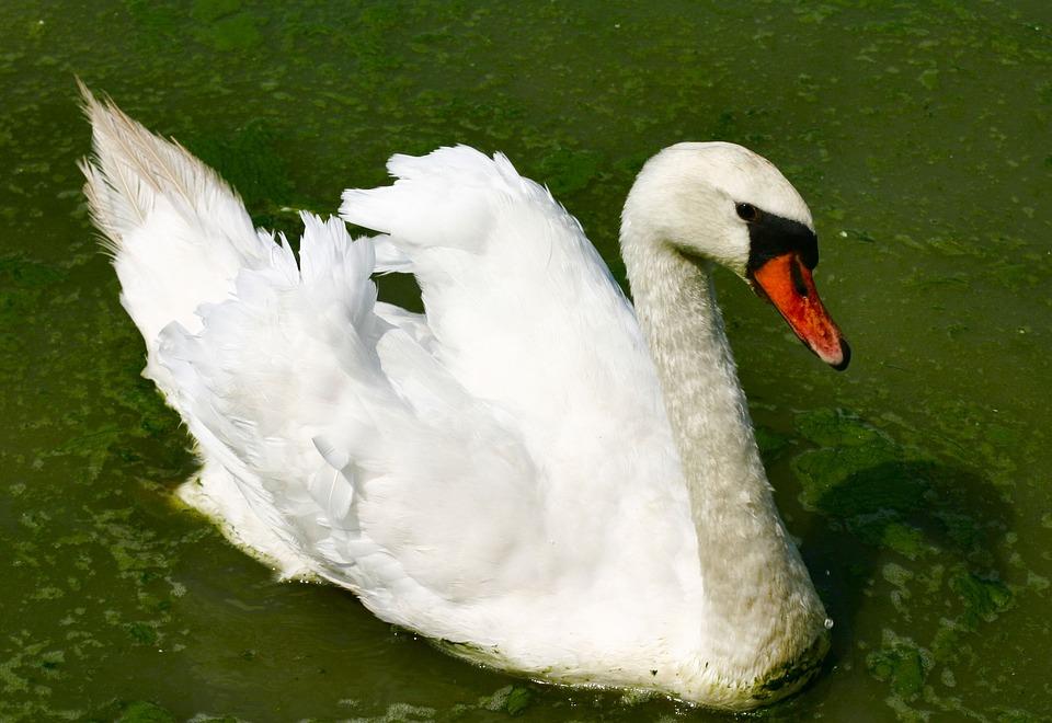 White Swan, Water Bird, Bird, Feathered, Lake, Nature