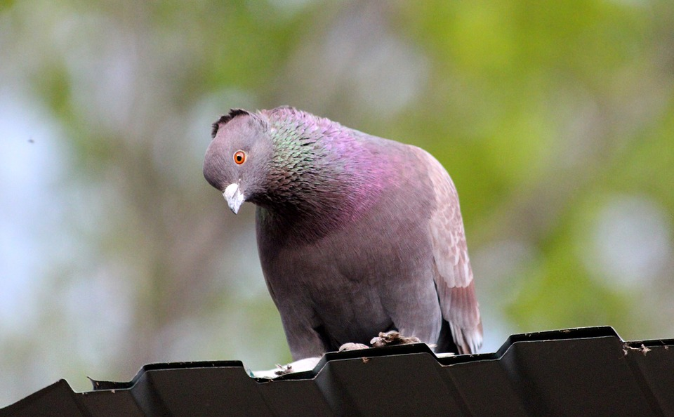 Dove, Domestic Pigeon, Bird, Feathered Race, Nature