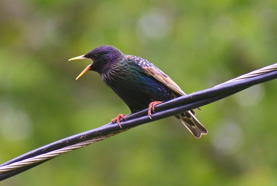 Starling, Star, Bird, Feathered, Animal, Wildlife