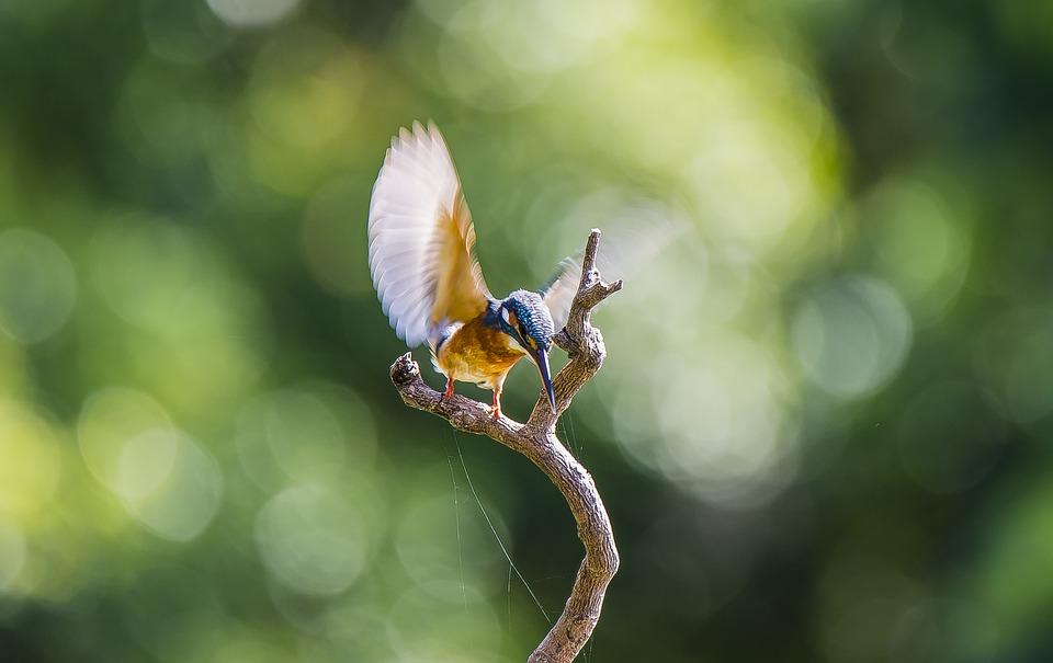 Kingfisher, Bird, Flight, Wings, Animal, Feathers