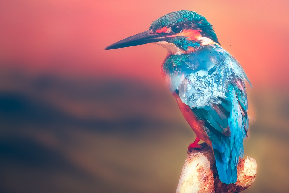 Kingfisher, Bird, Perched, Animal, Plumage, Feathers