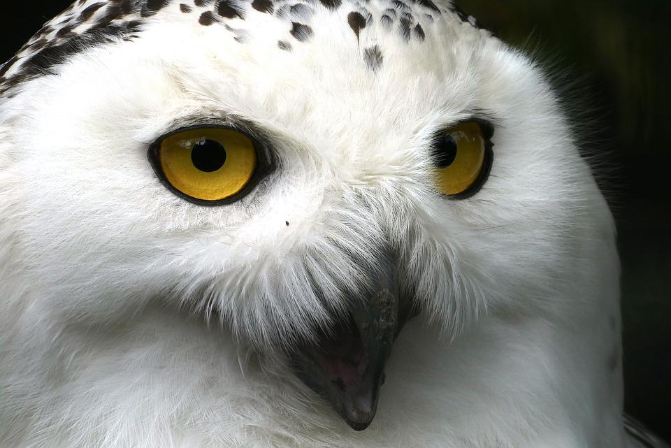 Snowy Owl, Eyes, Beak, Head, Feathers, Plumage, White