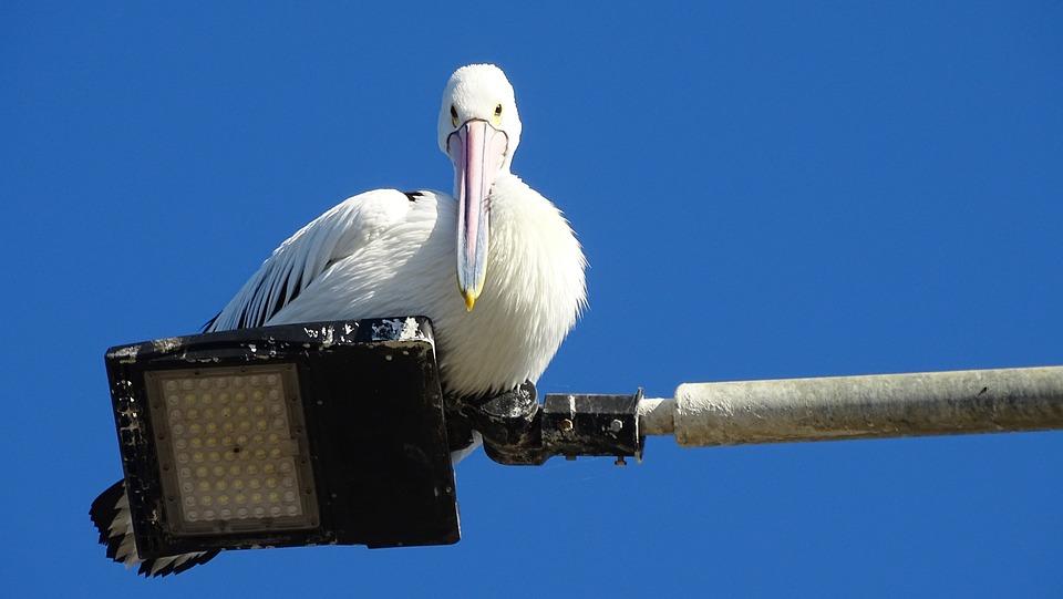 Pelican, Beak, Feathers, Wings, Bird, Perched