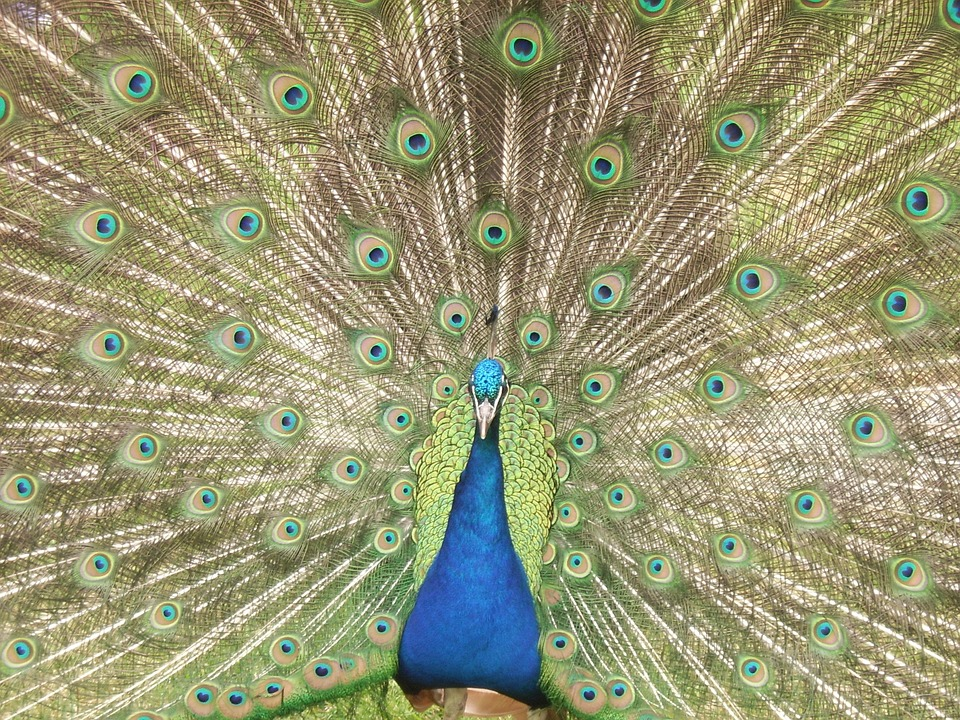 Peacock, Feathers, Blue, Colourful, Bird, Nature