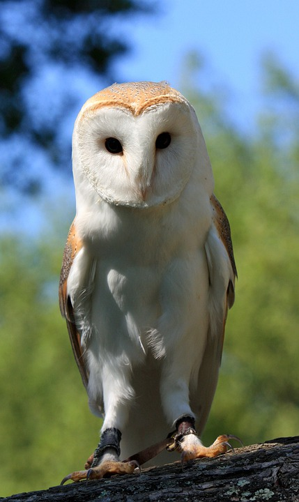 Owl, Bird, Barn Owl, Close-up, Details, Feathers