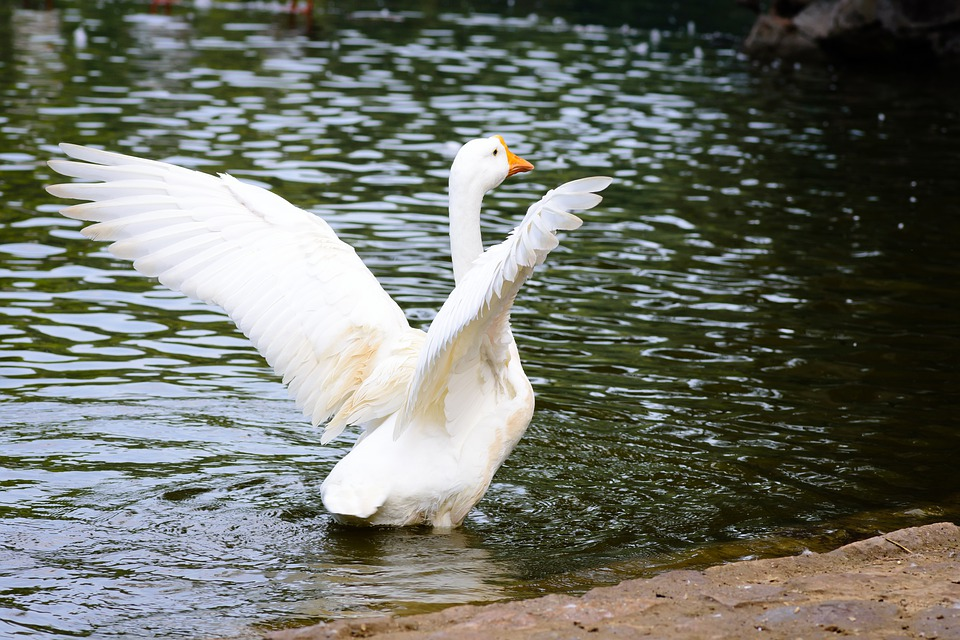 Free Photo Feathers Lake Wildlife Water White Bird Swan