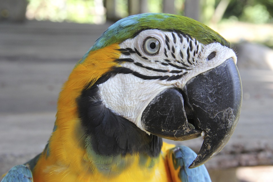 Macaw, Parrot, Tropical, Exotic, Feathers, Beak, Pet