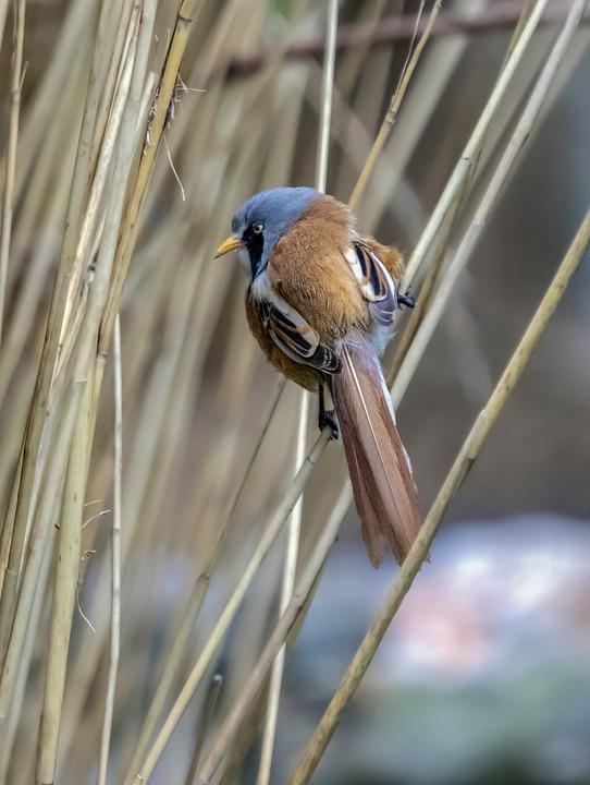 Bearded-reedling, Bird, Wing, Feathers, Nature, Flying