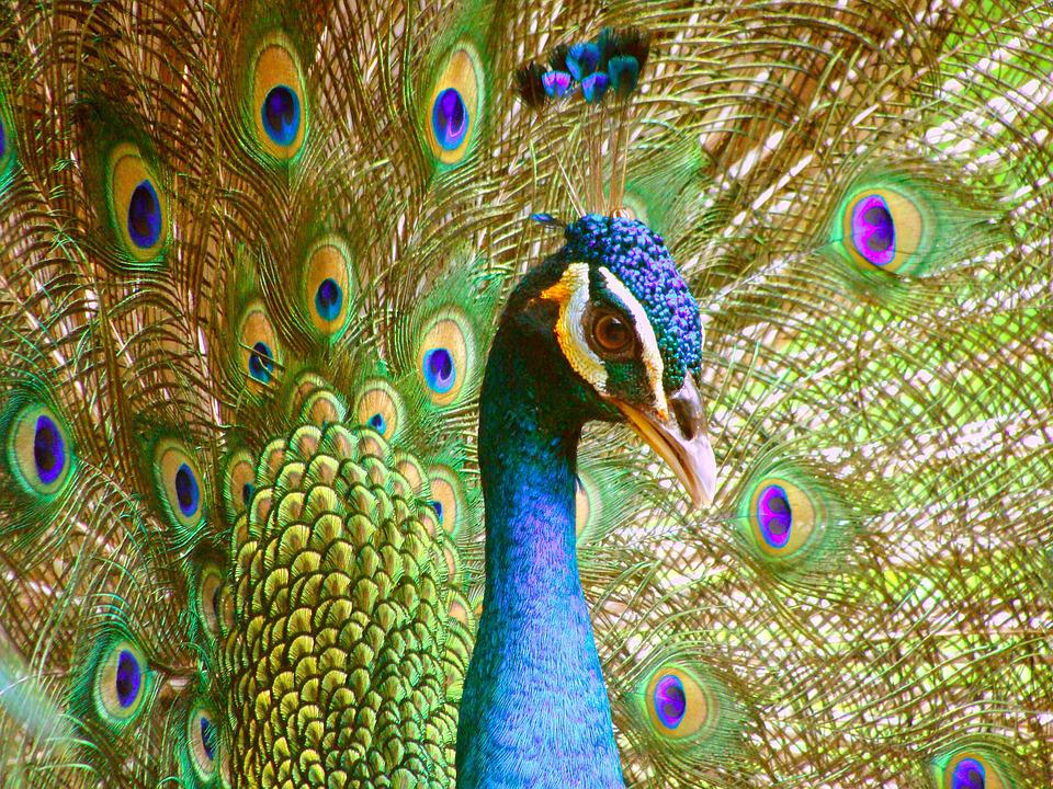Peacock, Peacock's Tail, Zoological Garden, Feathers