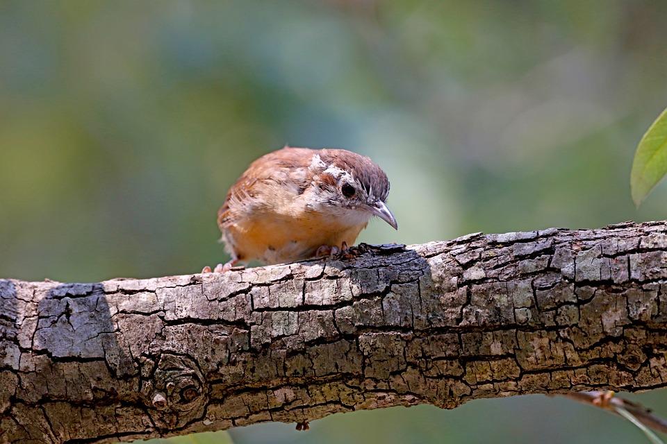 Wren, Bird, Perched, Animal, Feathers, Plumage, Beak