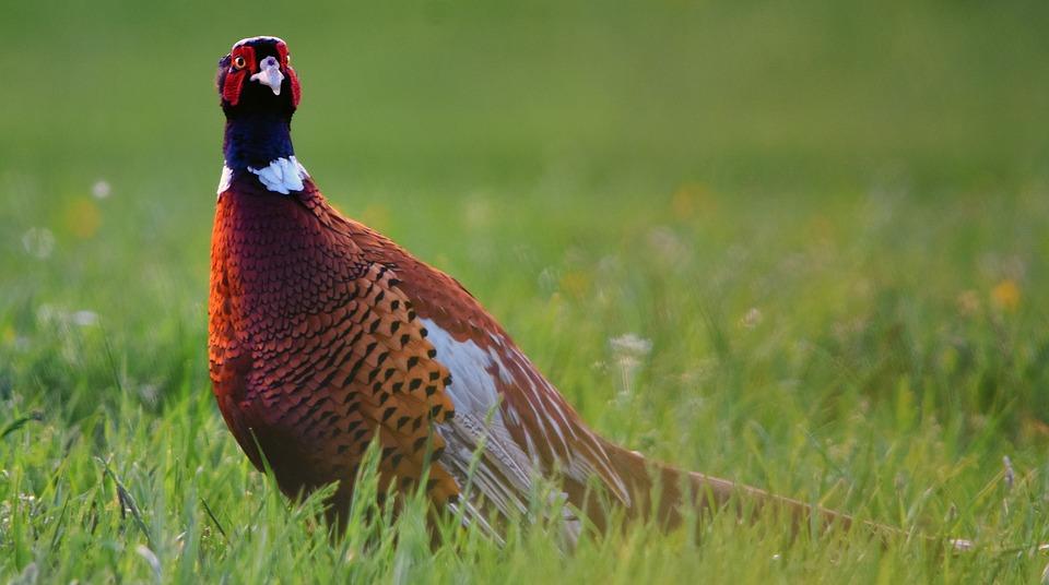Pheasant, Bird, Wild, Animal, Plumage, Nature, Feathers