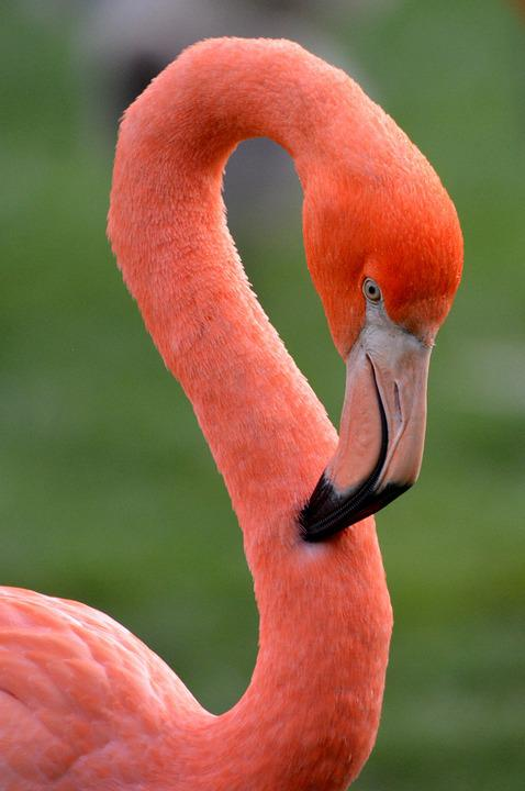 Flamingo, Bird, Animal, Pink, Feathers