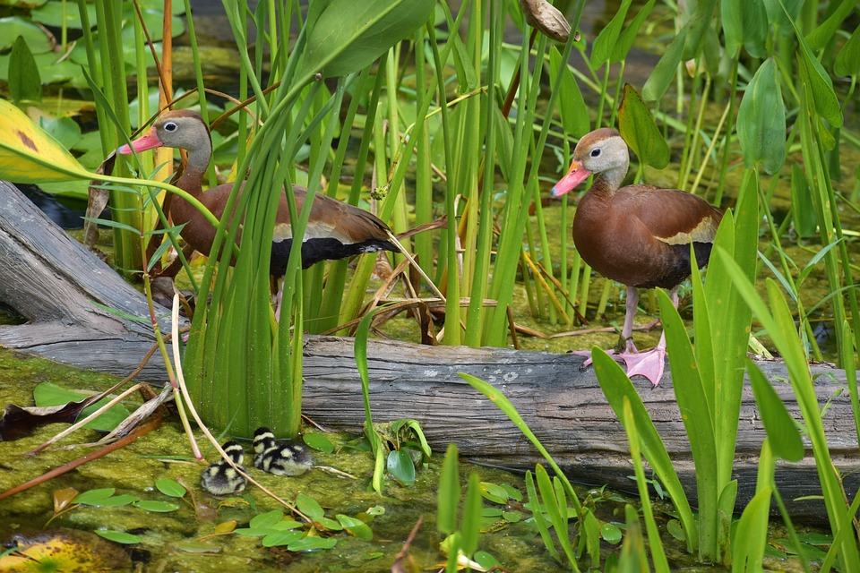 Ducks, Birds, Animals, Plumage, Feathers, Beaks, Bills