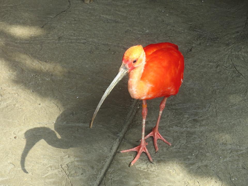 Scarlet Ibis, Animal, Beak, Feathers, Wing, Ecology