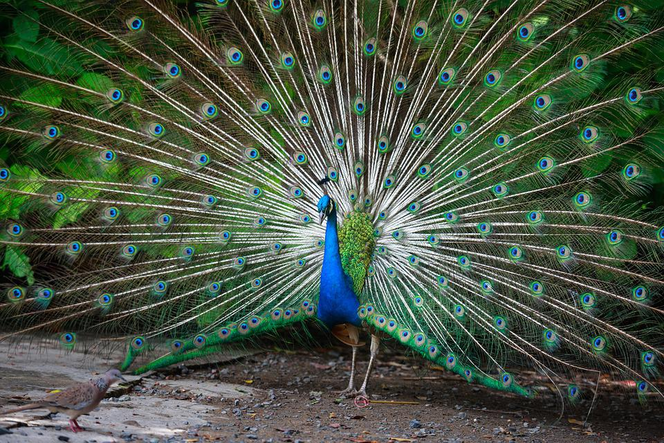 Peacock, Green, Feathers, Nice, Tail, Male, Blue, Color