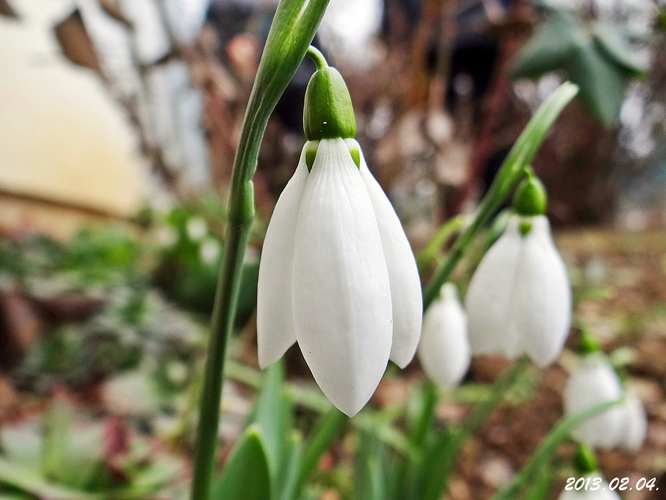 Snowdrop, February, At The Beginning Of