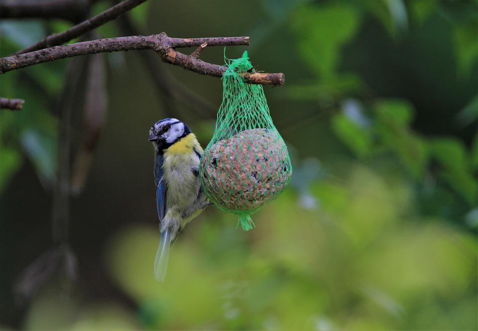 Blue Tit, Tit, Songbird, Feed Dumplings, Bird, Animal