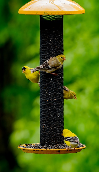 Birds, Feeder, Wild, Migrating, Yellow, Finches, Feed