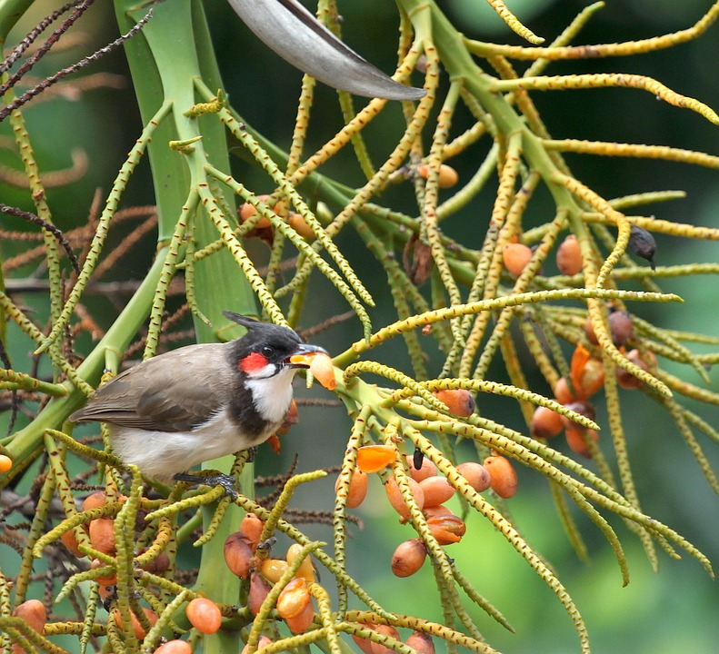 Bulbul, Bird, Nature, Wildlife, Eating, Feeding