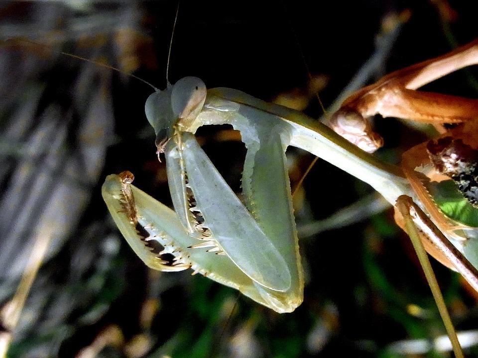 Fishing Locust, Praying Mantis, Insect, Feeding, Food