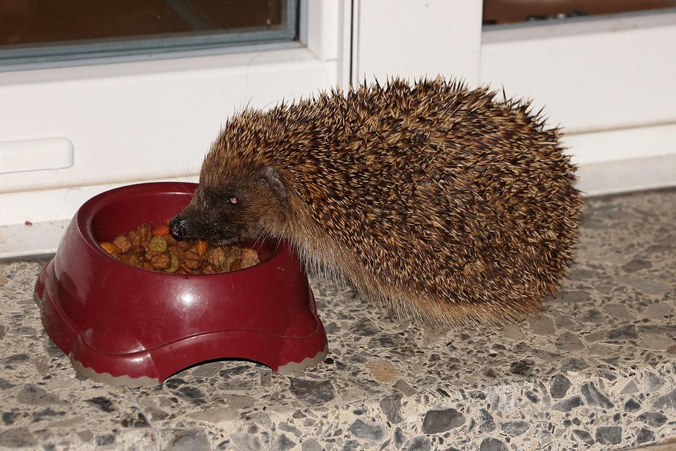 Hedgehog, Feeding, Hannah