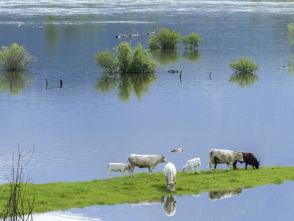Cows, Calf, Feeding, Mammals, Large, Nature, Cattle
