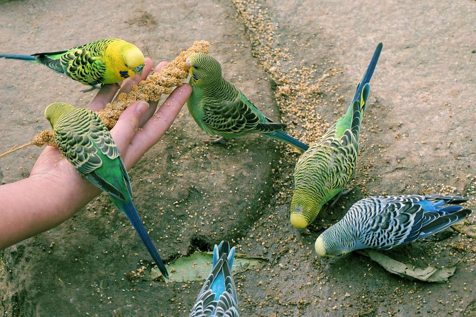 Budgerigars, Birds, Feeding, Animals, Parakeets