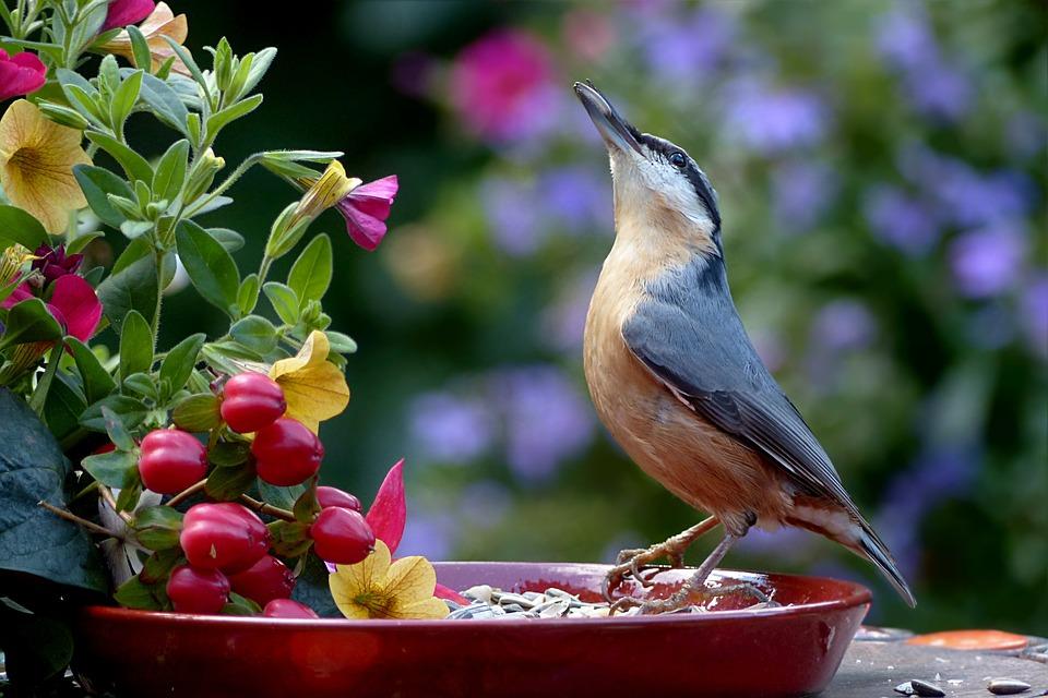 Animal, Bird, Kleiber, Sitta Europaea, Feeding Place