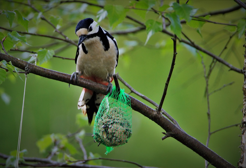 Great Spotted Woodpecker, Fat Balls, Feeding Place