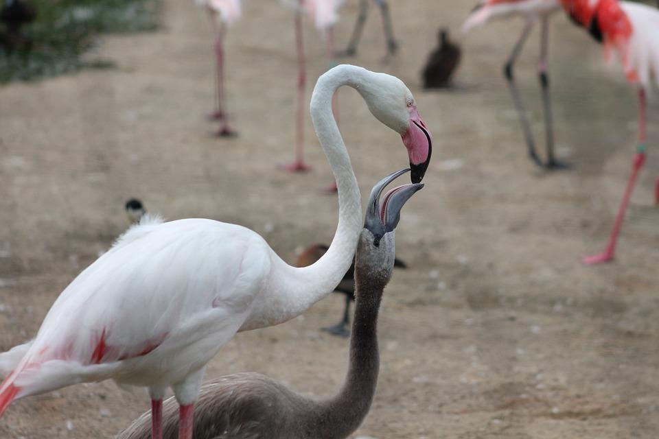 Flamingos, Zoo, Safari, Dvur Kralove Nad Labem, Feeding