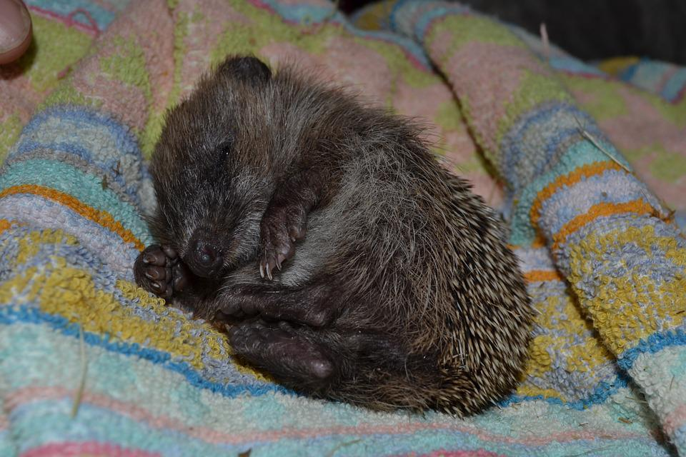 Hedgehog, Small, Sleepy, Needles, Feet