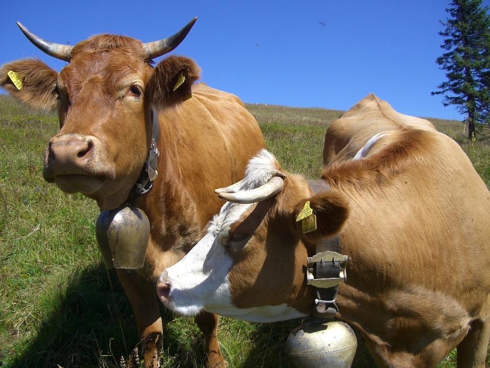 Cow, Cow Bells, Sky Blue, Feldberg, Pasture