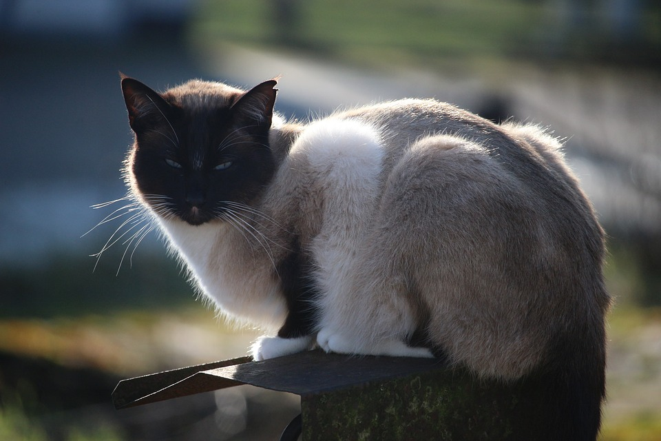 Cat, Siamese Cat, Siamese, Breed Cat, Felidae