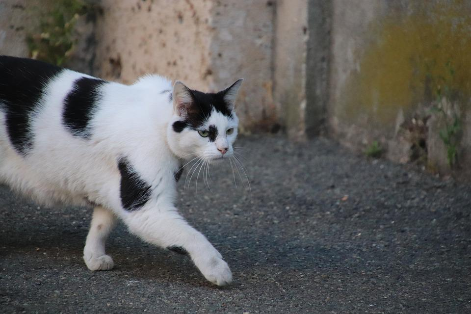 Cats, Felines, Felids, Mammals, Pets, Cute, Adorable