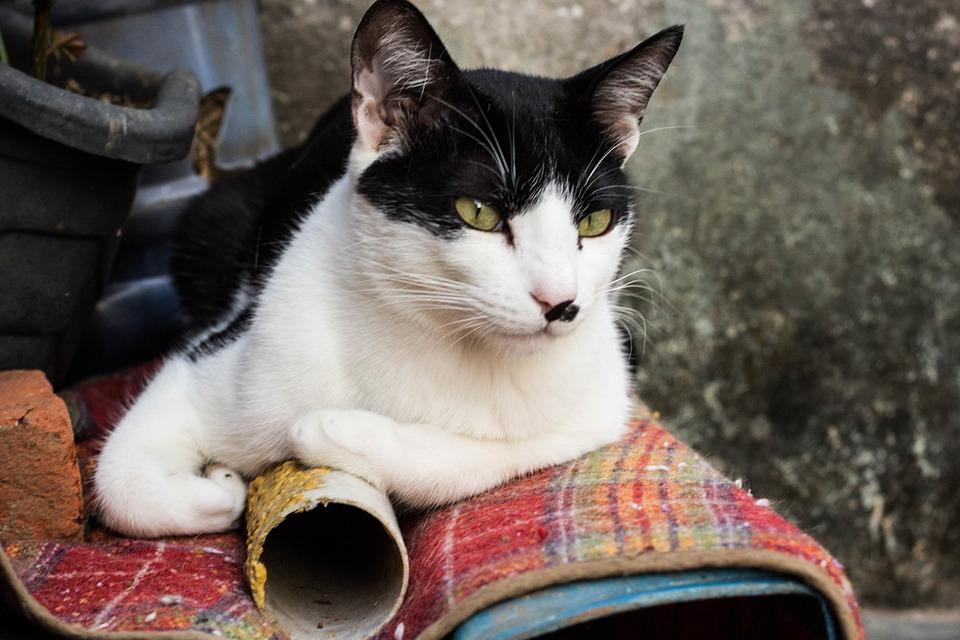 Cat, Pet, Animal, Kitten, Eyes, Cute, Feline, Domestic