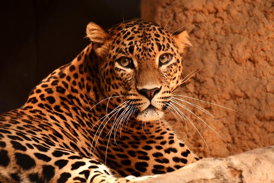 Leopard, Feline, Cat, Whiskers, Beast, Animal, Zoo