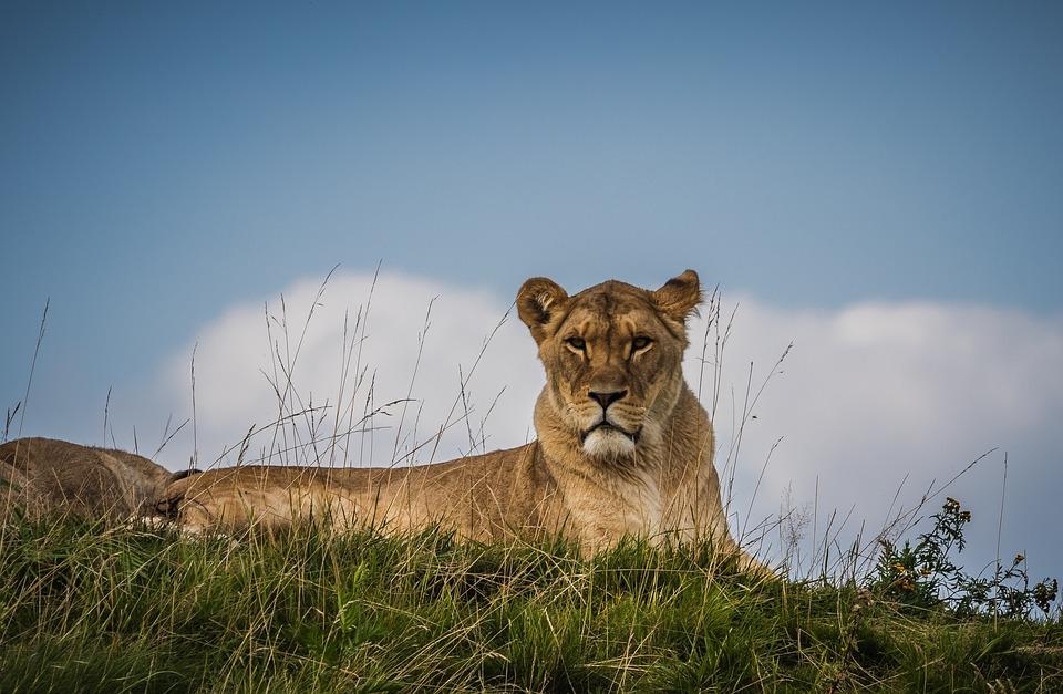Lion, Lioness, Nature, Feline, Animal