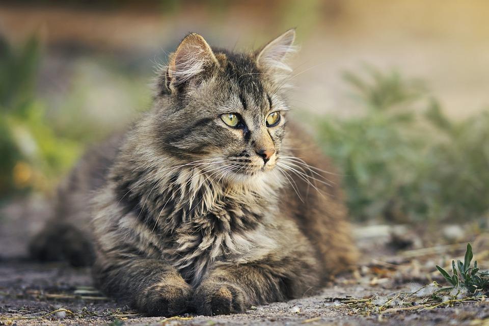 Cat, Animal, Pet, Feline, Resting, Brown Cat