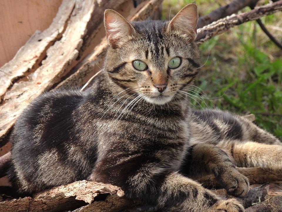 Cat, Animal, Tabby, Feline, Outside