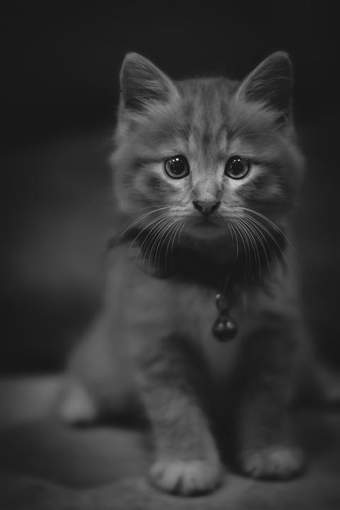 Cat, Kitten, Pet, Animal, Cute, Feline, Eyes, Kitty