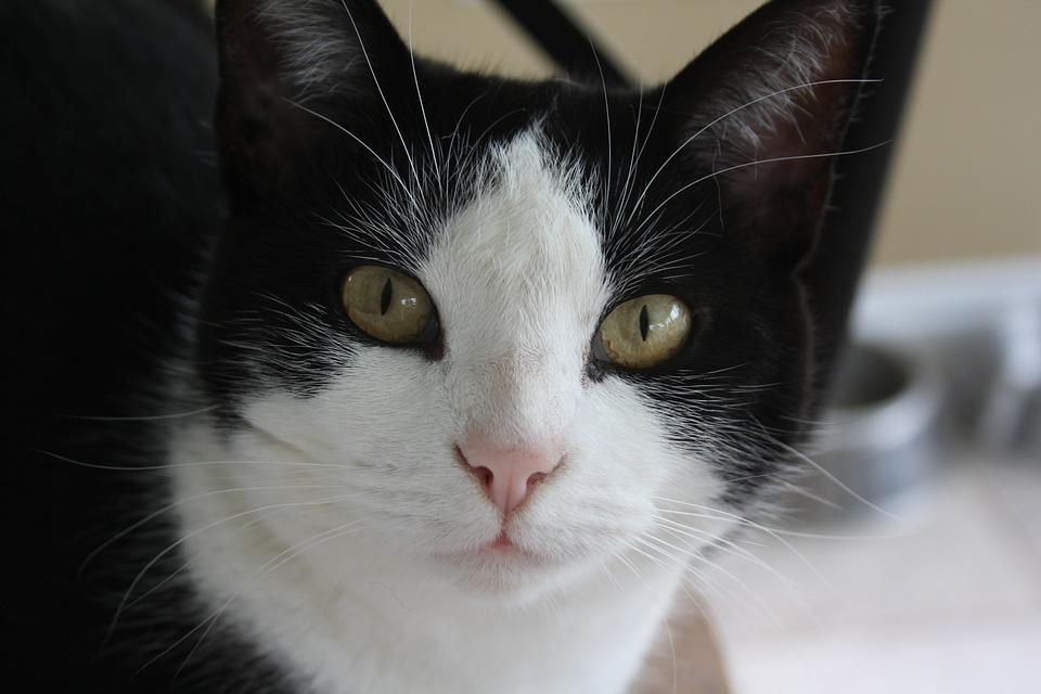 Cat, Black, White, Pet, Animal, Feline, Cute, Fur, Eye