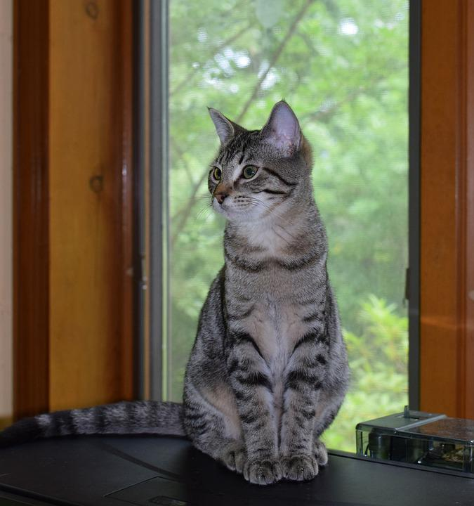Kitten, Gray Tabby, Cat, Feline, Animal, Cute, Domestic