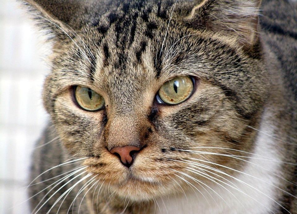 Cat, Eyes, Staring, Feline, Domestic, Cute, Eye