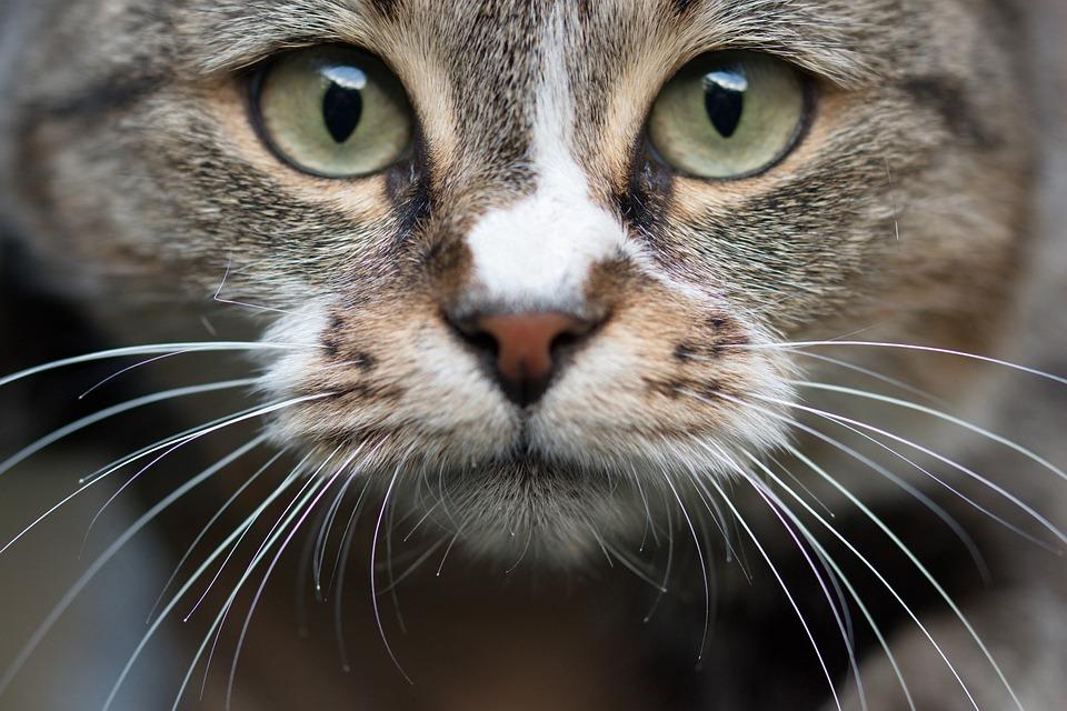 Cat, In Relation To, Head, Eyes, Fur, Feline, Kitten