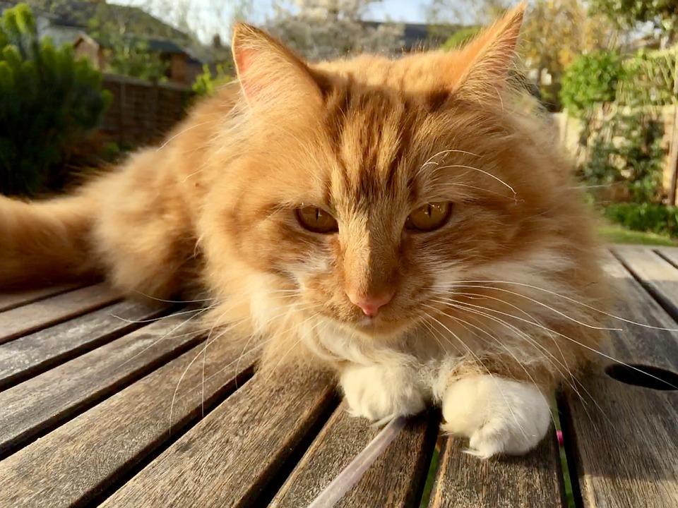 Ginger, Cat, Feline, Fur, Pet, Stare