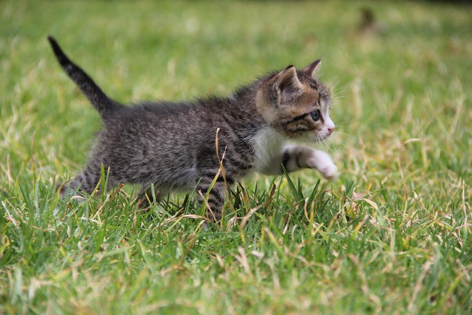 Kitten, Cat, Feline, Pet, Animal, Gata, Grey, Fauna