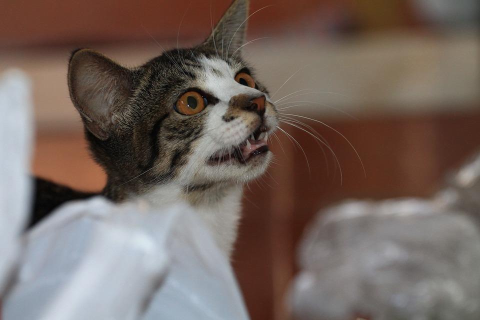 Feline, Cat Meowing, Asking For Food, Kitten, Animal