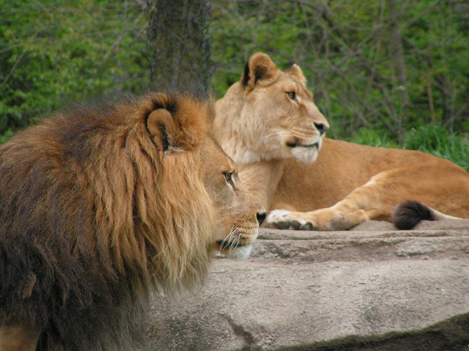 Lions, Leo, Wild, Cat, Wildlife, Feline, Carnivore